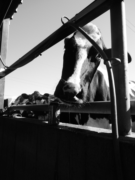 Cow-Brew